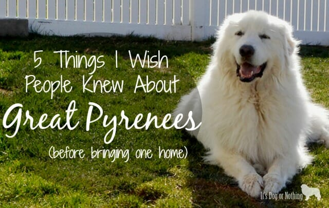 All Things Pyrenees It S Dog Or Nothing