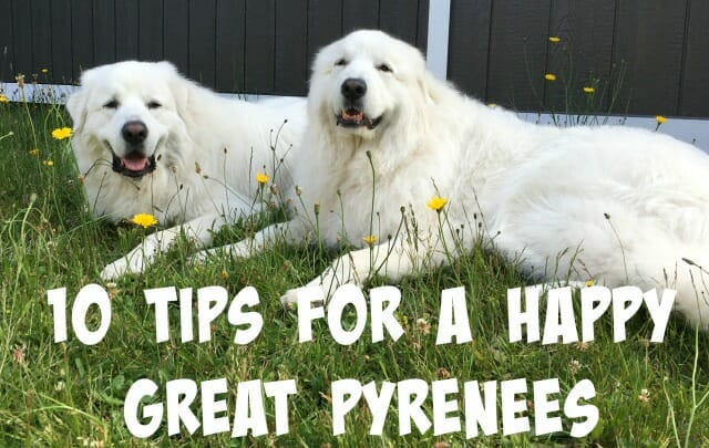 10 tips for a happy great pyrenees it 39 s dog or nothing for Picture great