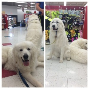 Great Pyrenees in Petco