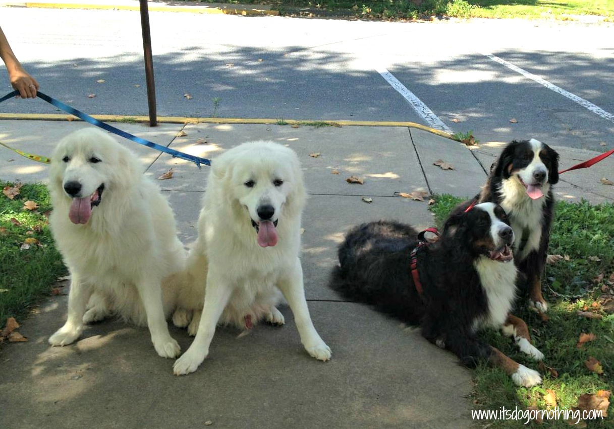 Great Pyrenees and Bernese Mountain Dogs