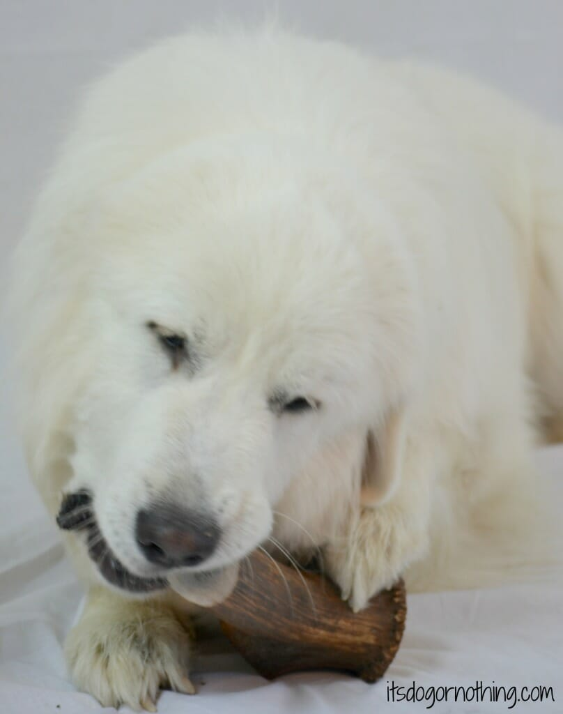 Great Pyrenees with Elk Antler from Best Bully Sticks