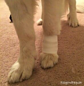 Dog Broken Nail