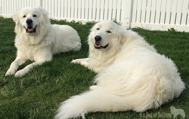 Why Do You Love Great Pyrenees?