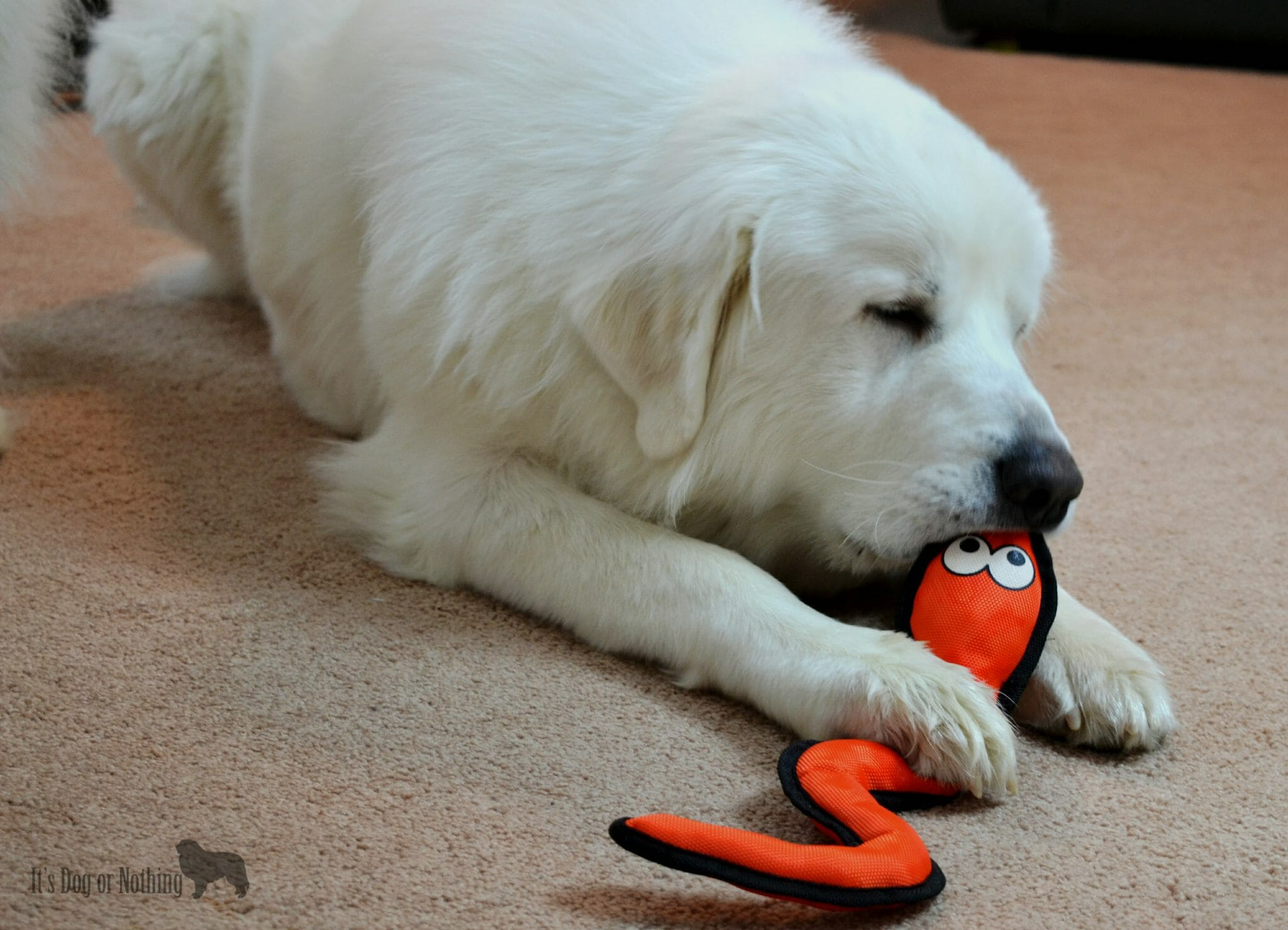 Great Pyrenees and Ruff and Tuff Toy