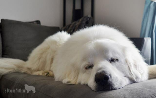 Great Pyrenees Napping