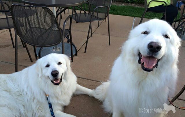 Great Pyrenees at Panera