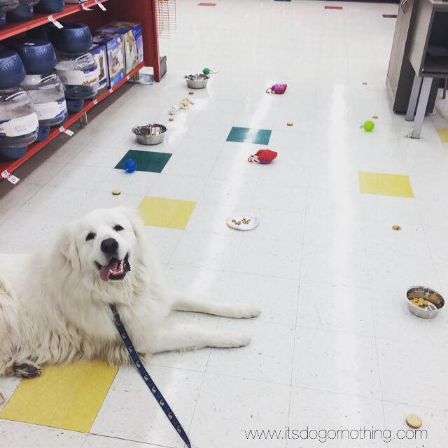 Great Pyrenees training