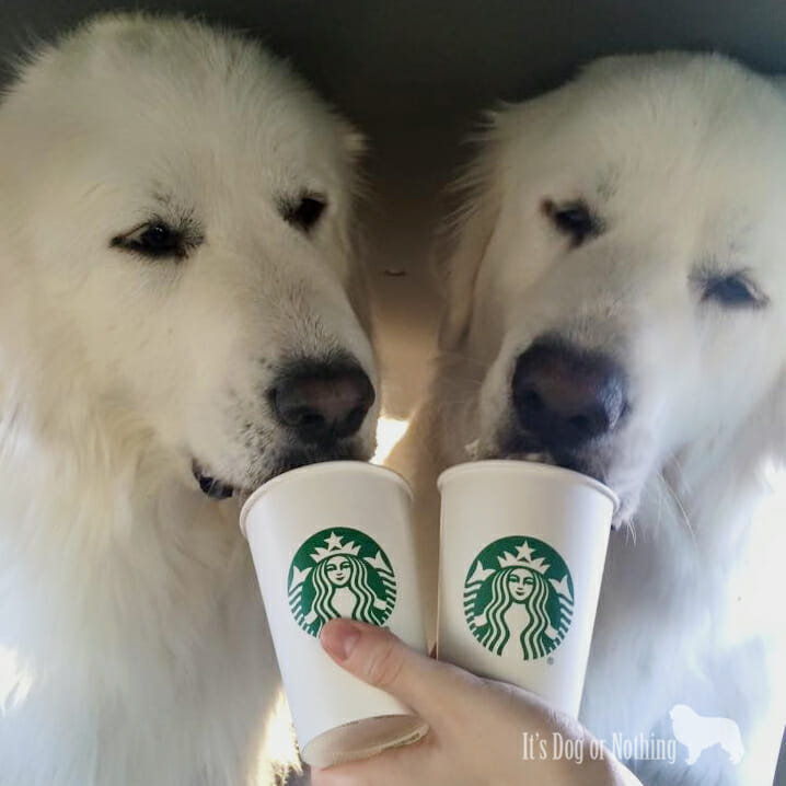Starbucks loving Great Pyrenees