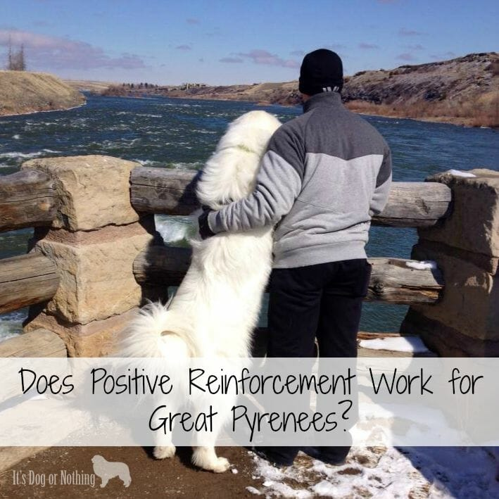 Does Positive Reinforcement Work for Great Pyrenees?