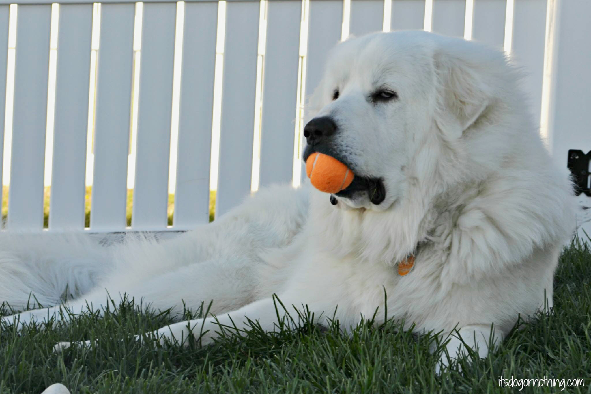A Stuck Great Pyrenees