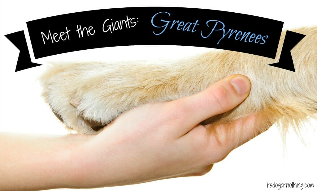 Meet the Giants: Great Pyrenees