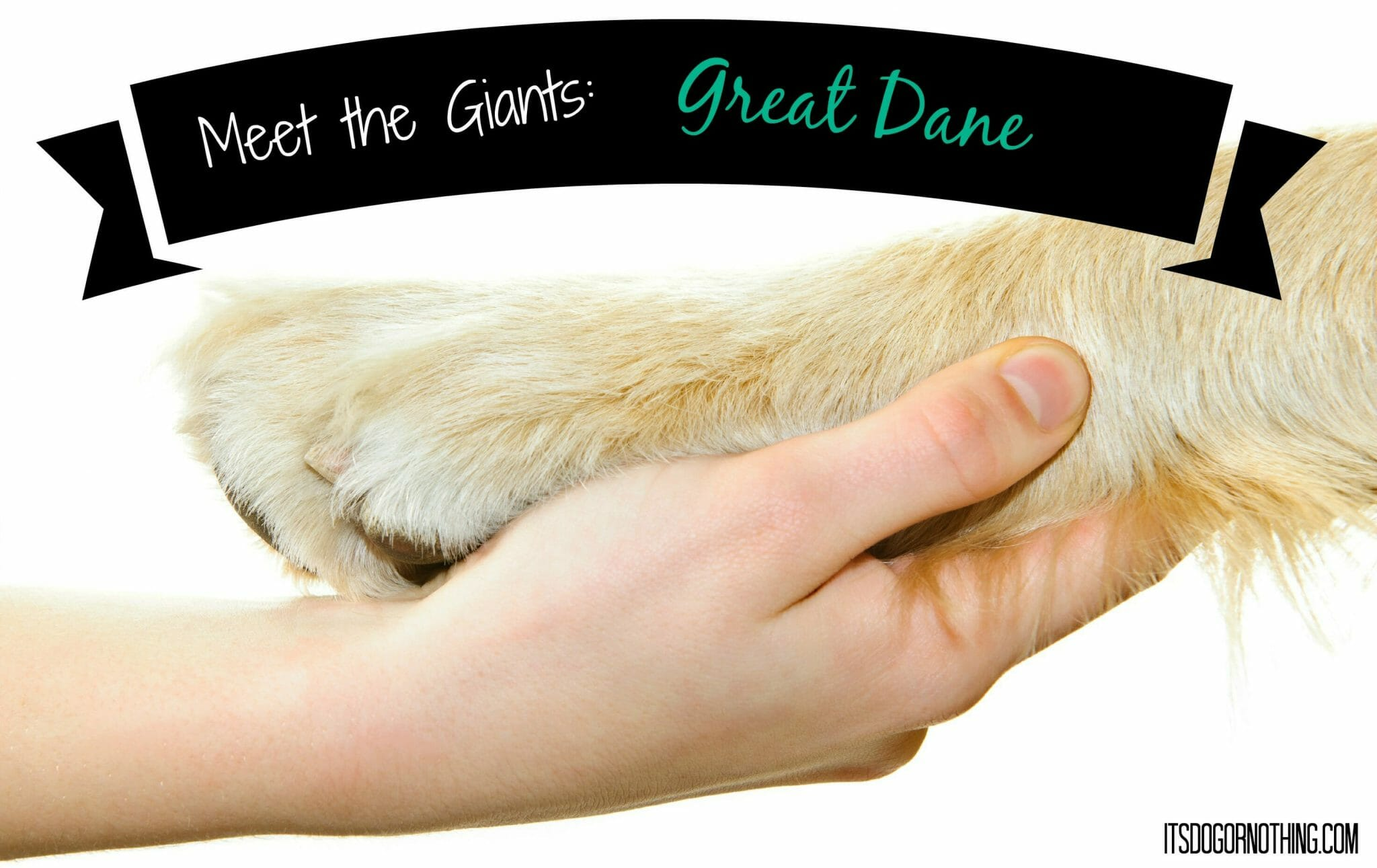 Meet the Giants: Great Dane