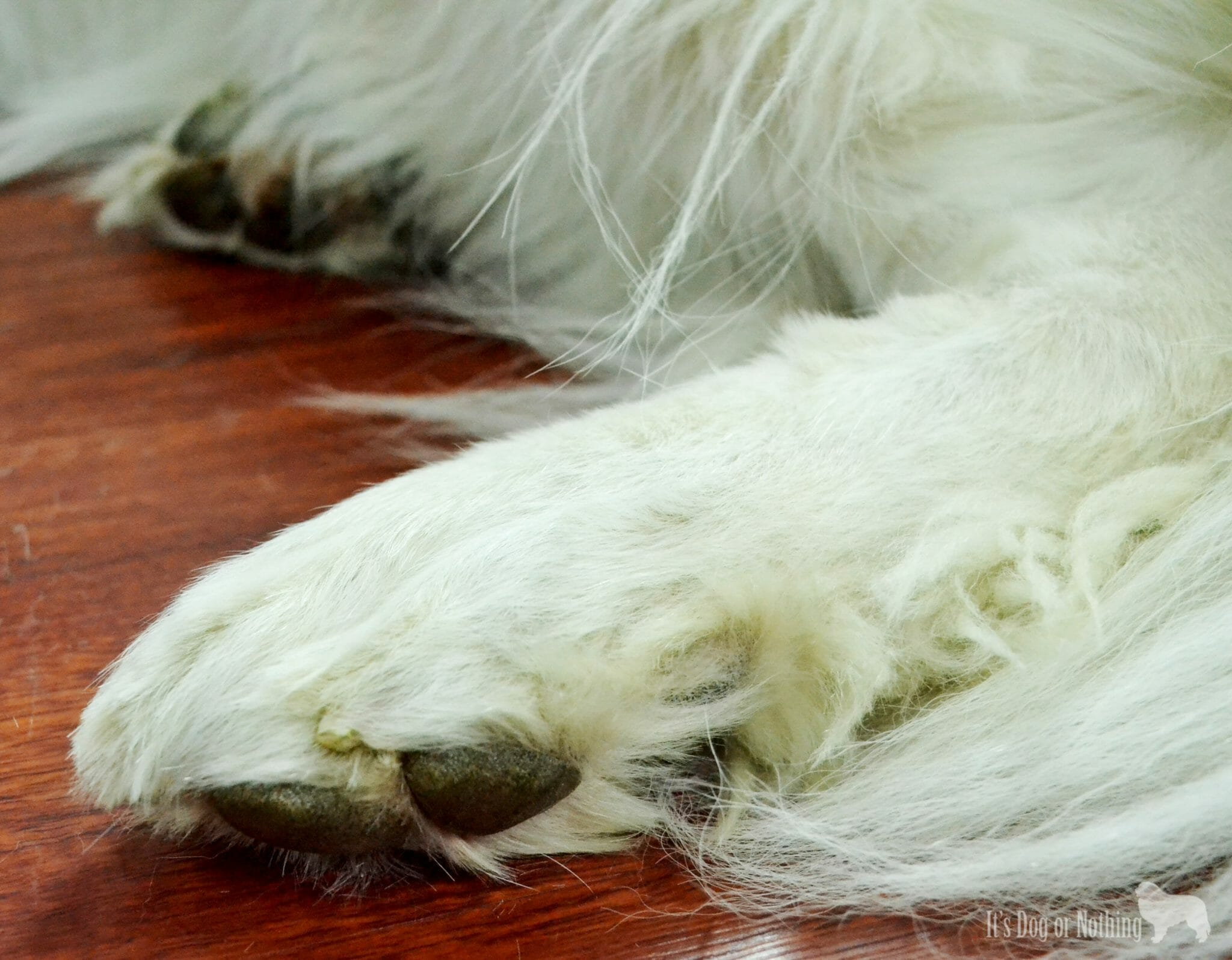 "Using the Micio Micia Dog Grooming Scissors to trim Great Pyrenees ""Grinch Feet"""