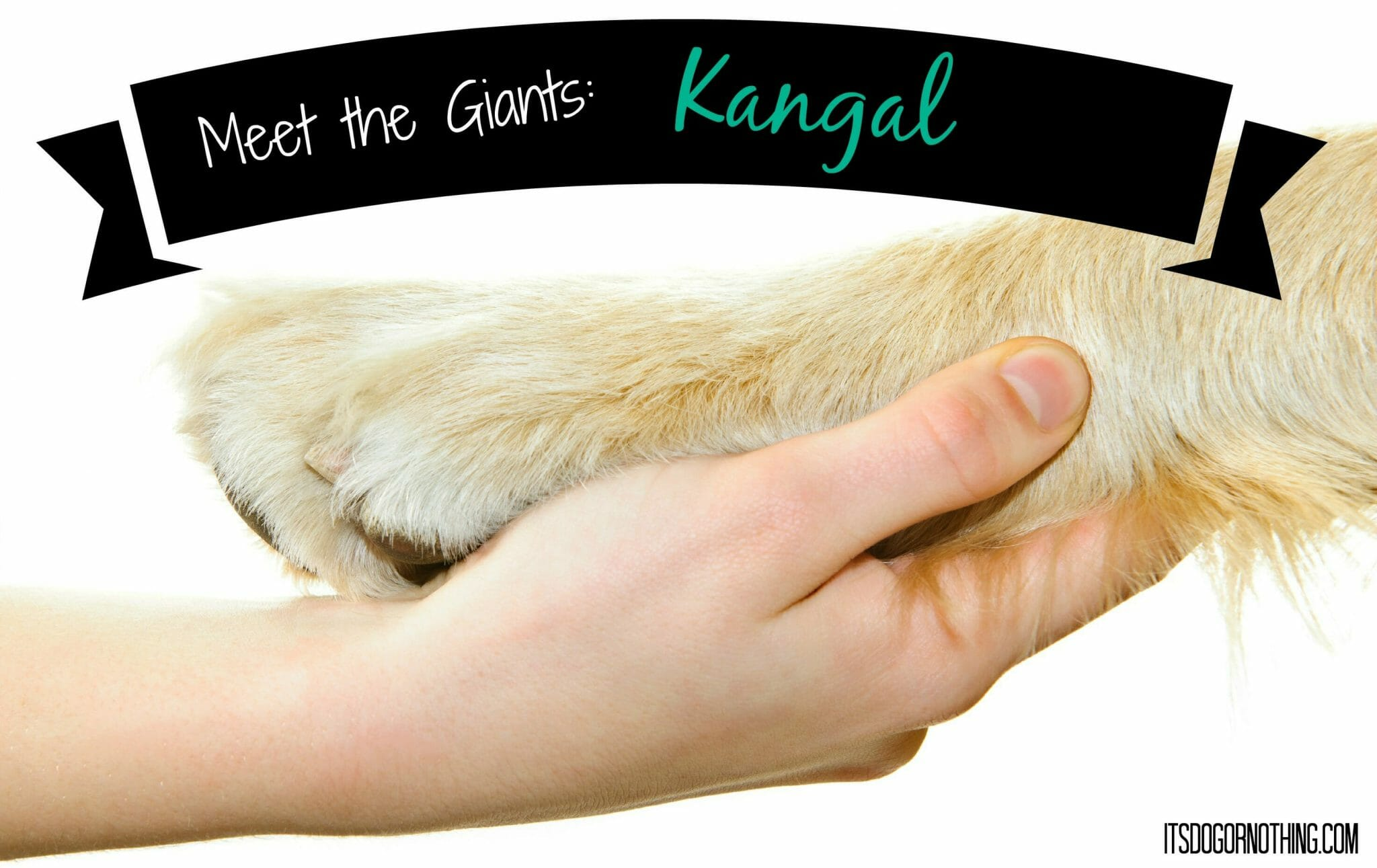 Meet the Giants: Kangal