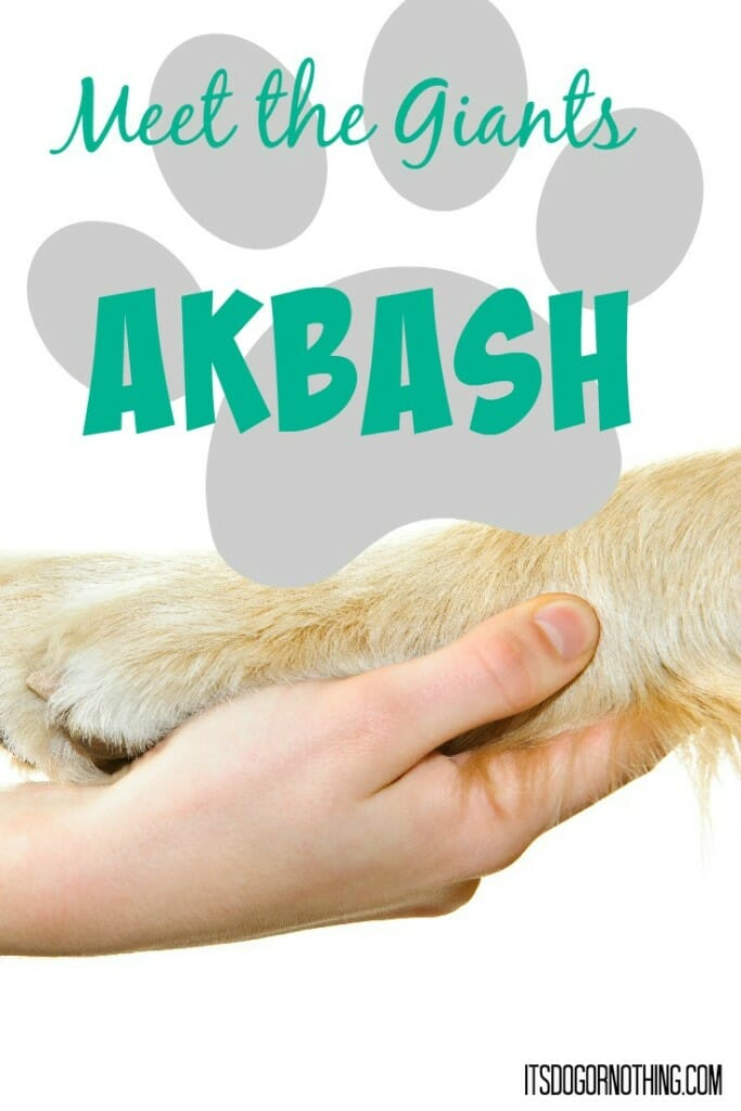 Today on Meet the Giants, the Akbash! Head over to read all about this amazing livestock guardian dog.