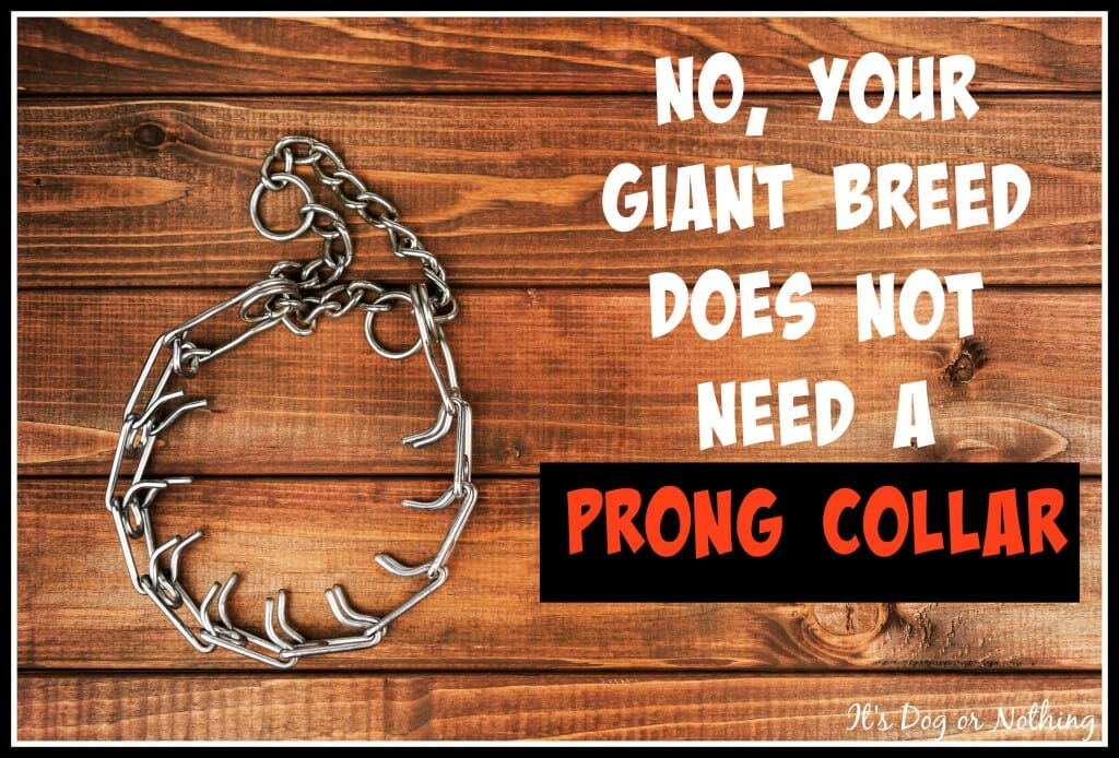 No, Your Giant Breed Does Not Need a Prong Collar