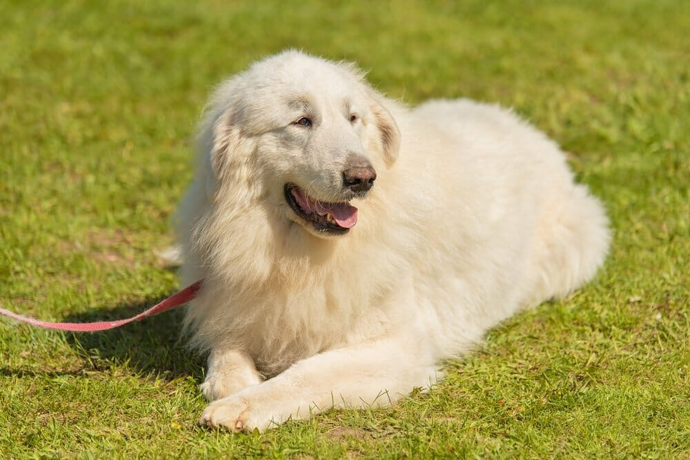 Beautuful Great Pyrenees
