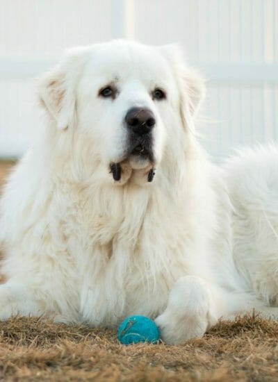 Great Pyrenees: Myth or Fact?