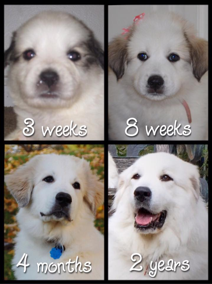 Great Pyrenees Facts | It's Dog or Nothing |How badger marks change on Great Pyrenees