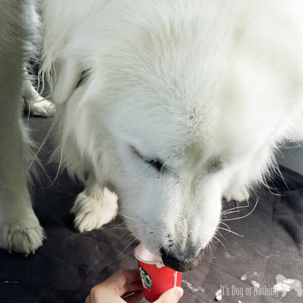 Great Pyrenees with Starbucks