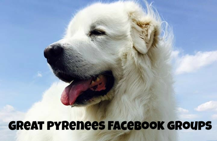 Great Pyrenees Facebook Groups