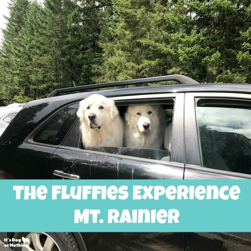 While dogs might not be allowed on the trails in national parks, there are still plenty of things you can do! We took our Great Pyrenees to Mt. Rainier.