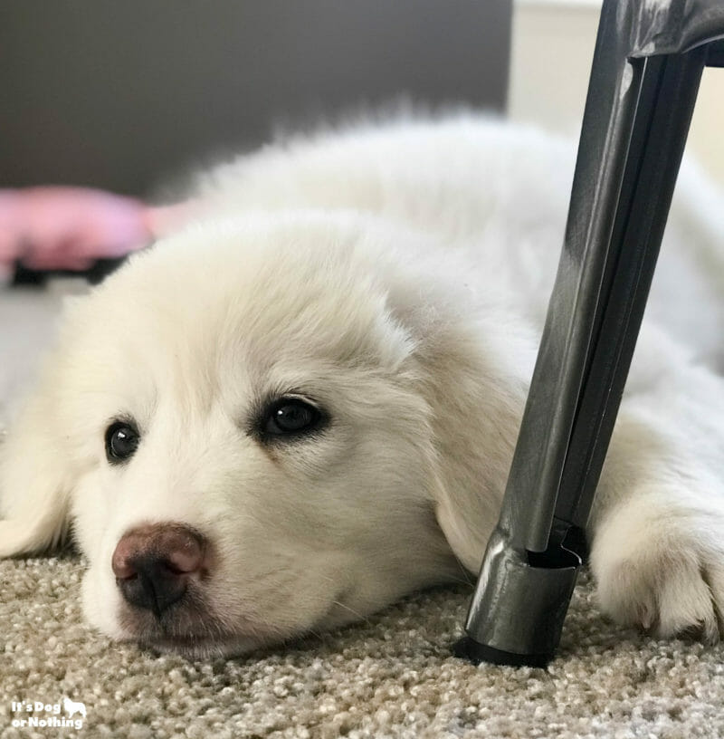 Kiska, our Great Pyrenees puppy, at 10 weeks.