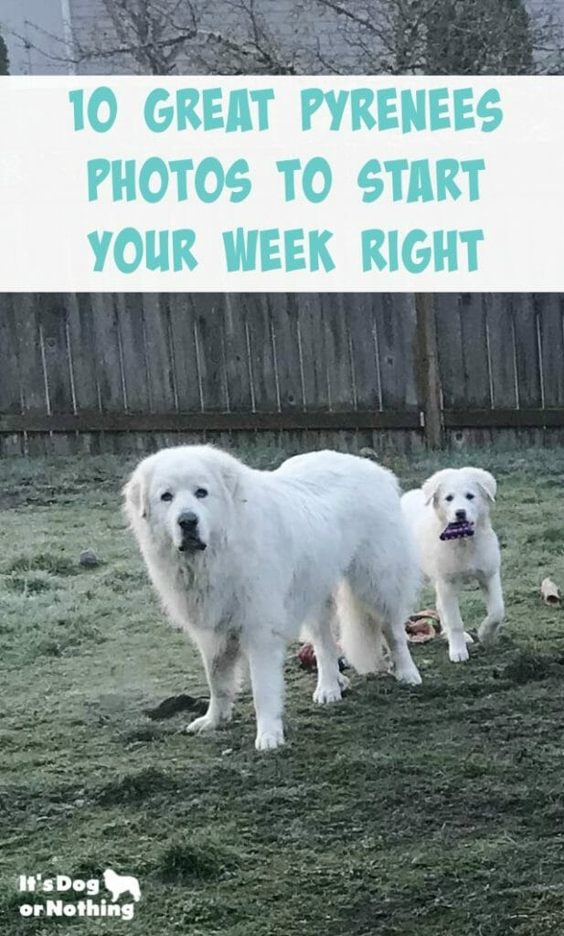 Need a little Monday pick me up? Check out these 10 photos of Great Pyrenees to get your week started right.