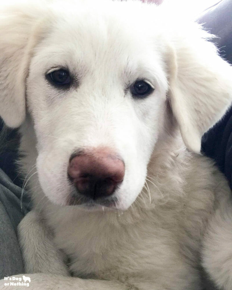 Kiska: Great Pyrenees 5 Months
