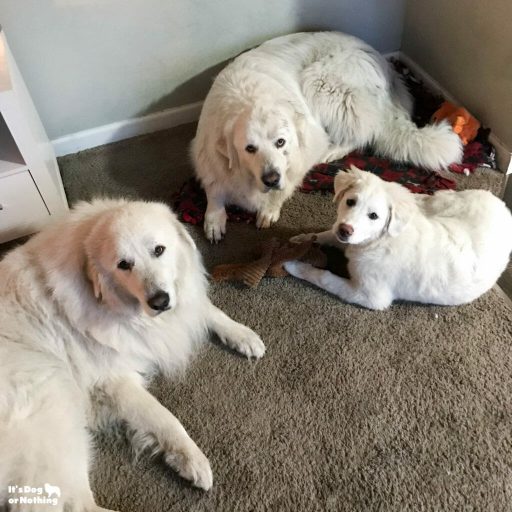 Kiska, our Great Pyrenees puppy, is 5 months olds now! Keep checking back to watch her grow.