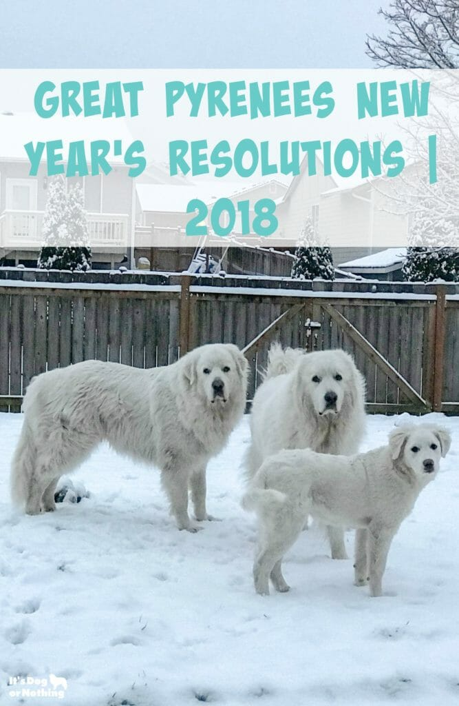 It's always fun to try and figure out what our dogs think ;-) I chatted with the fluffies and got their Great Pyrenees New Year's resolutions for 2018.