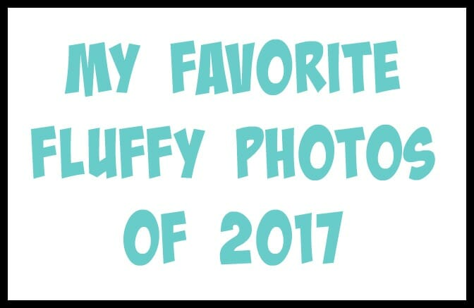 I took a look back at all the photos I took of the fluffies in 2017. Here are my top ten favorite pictures of Great Pyrenees!