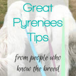 There can be a lot of misinformation about the Great Pyrenees breed out there. We polled thousands of Great Pyrenees lovers to get their top Great Pyrenees tips.