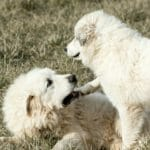 Pet, show dog, or livestock guardian - does breeding matter? Here are tips for choosing a breeder and considerations for breeding Great Pyrenees.
