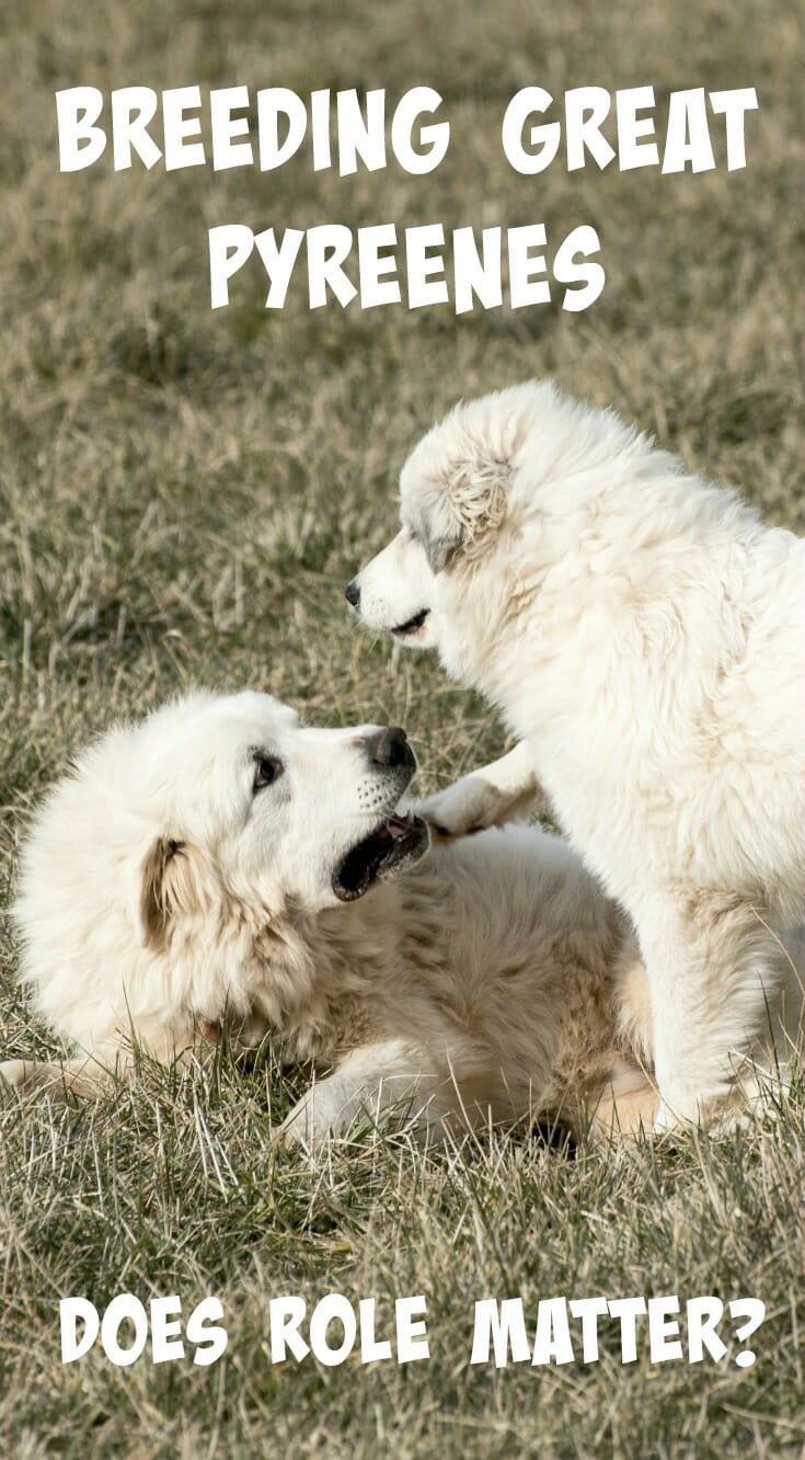 Pet, show dog, or livestock guardian - does the breeding make a difference? Here's some tips for choosing a responsible Great Pyrenees breeder.