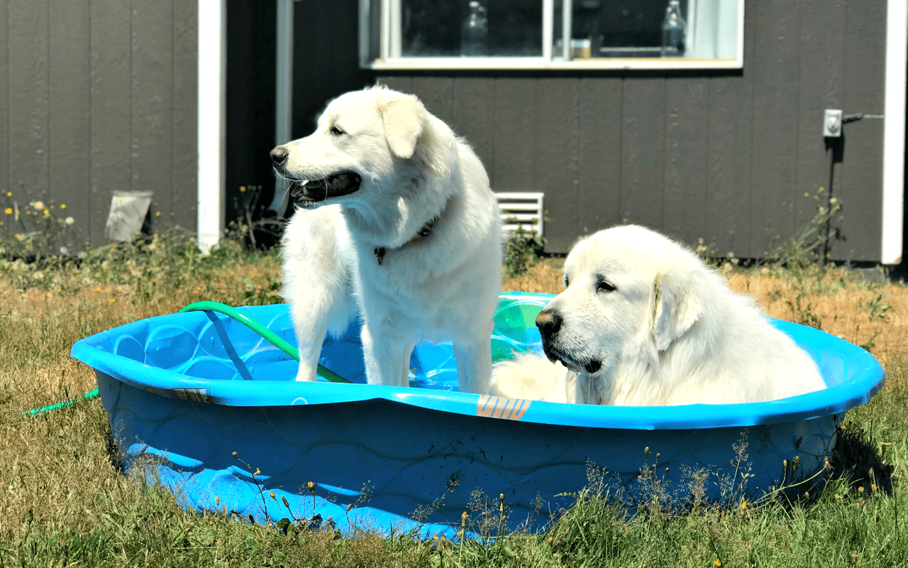 Summer can be rough, you guys. Even though we're in the PNW, we've had quite the heat this year. Here's how we keep cool, and 11 other Great Pyrenees trying to keep cool.