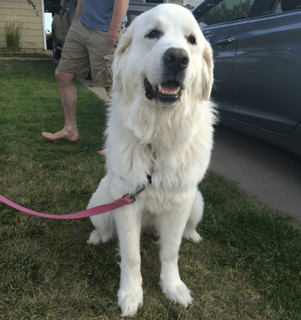 Bell   Great Pyrenees Rescue  It's Dog or Nothing