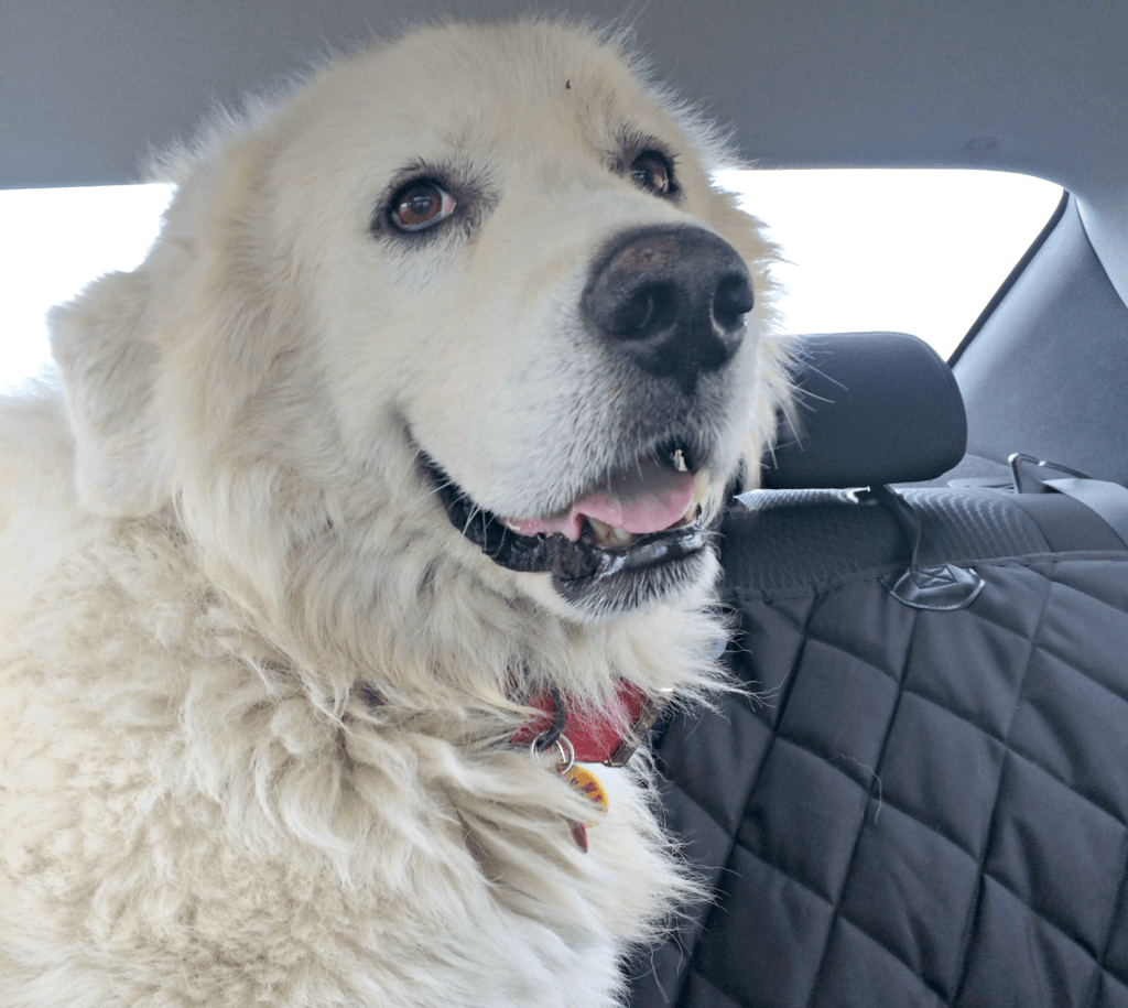 Sam   Great Pyrenees Rescue  It's Dog or Nothing