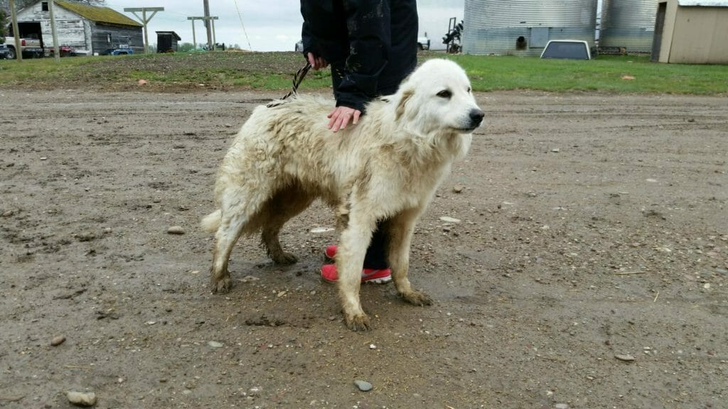 Bud   Great Pyrenees Rescue  It's Dog or Nothing