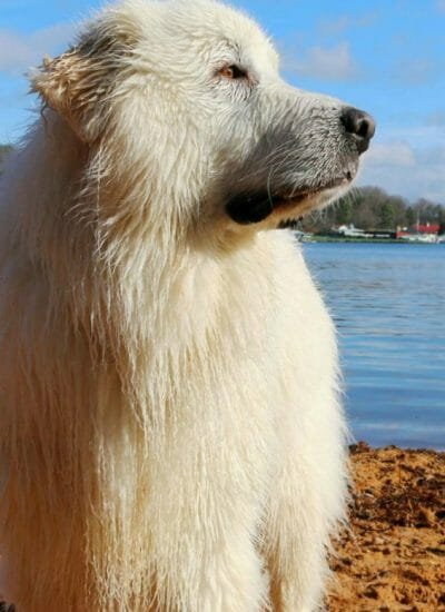 Great Pyrenees Info – A Beginner's Guide