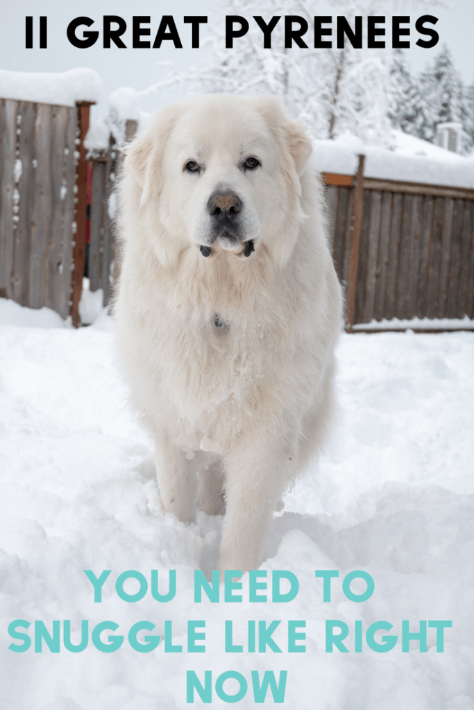 Are you in need of some pyr snuggles? Who isn't! Here are 11 Great Pyrenees you need to snuggle like right now.