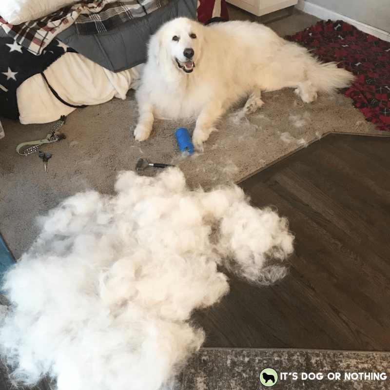 How much does a Great Pyrenees cost? There are a lot of factors, and don't forget about grooming!