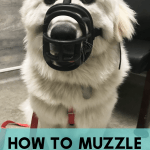 "Muzzle training isn't for ""bad"" dogs. Every dog, even the most social, easy-going dogs, can benefit from muzzle training. Here's how to choose a muzzle a simple way to acclimate your dog."