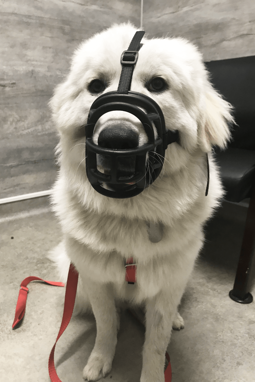 How to Muzzle Train Your Dog