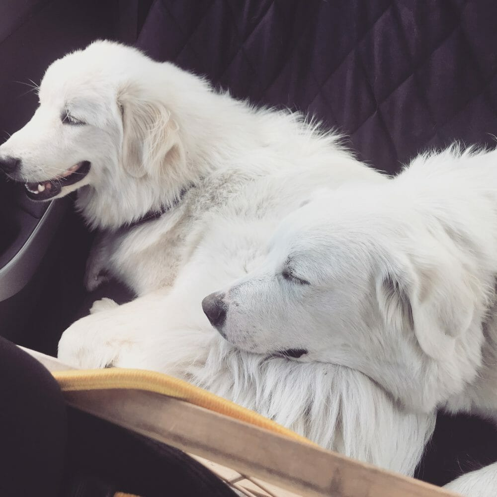 Great Pyrenees snuggling during a long road trip | It's Dog or Nothing