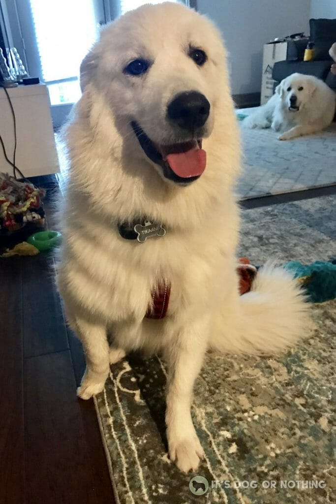 Great Pyrenees puppy | It's Dog or Nothing