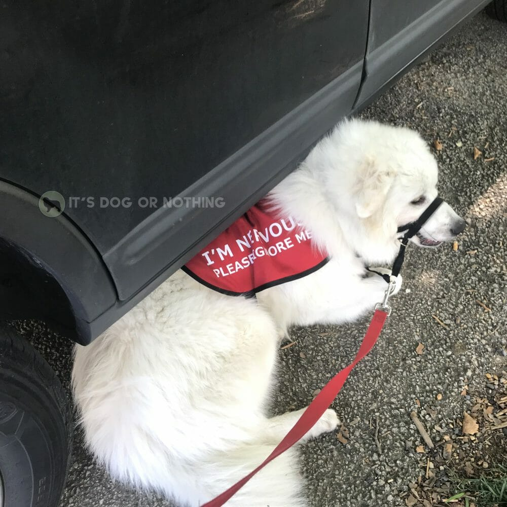 "Nervous Great Pyrenees puppy wearing a vest. ""I'm nervous. Please ignore me."" - It's Dog or Nothing"