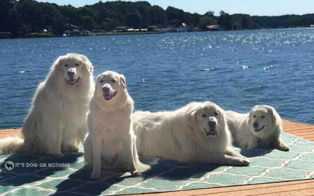 It's summer and it's hot, hot, hot. We're all melting, so take some tips from these Great Pyrenees trying to beat the heat.
