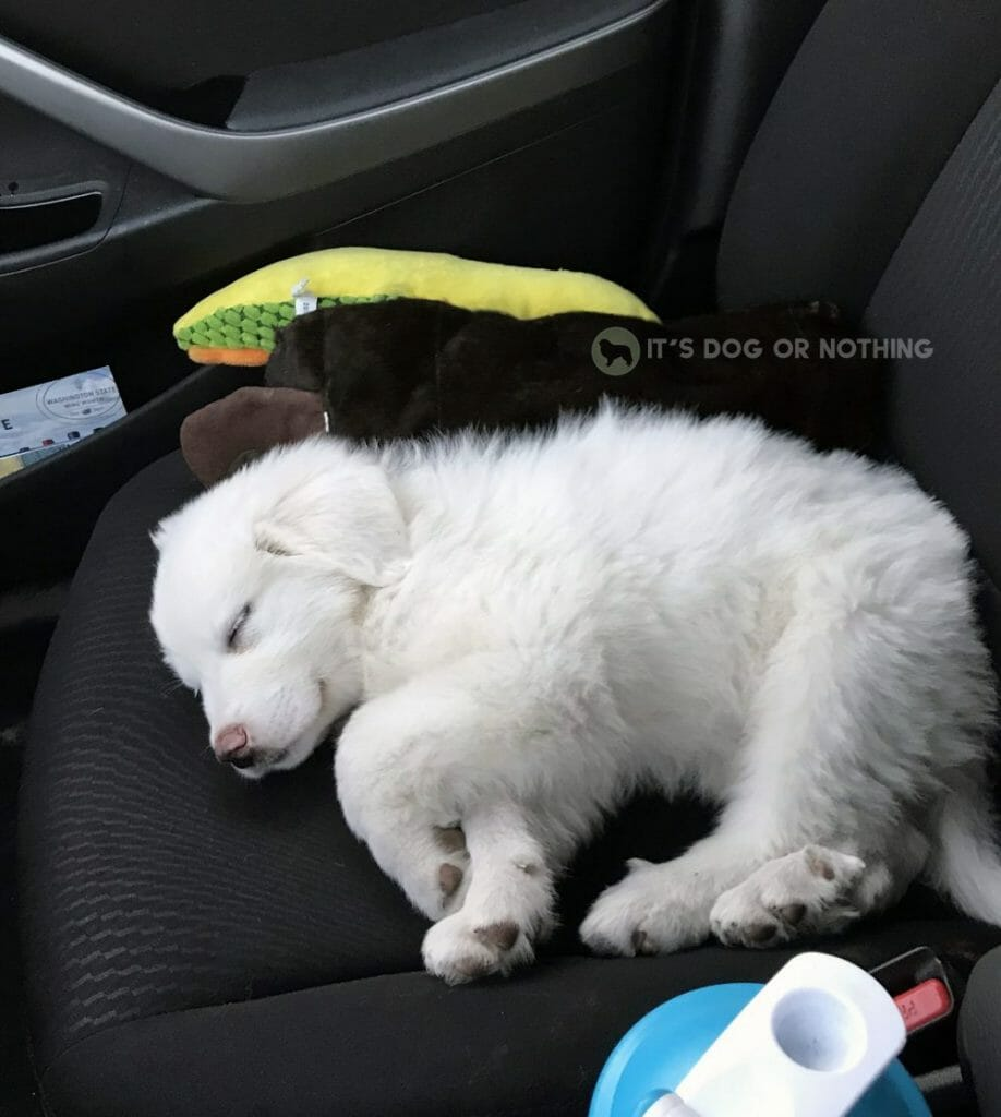 Great Pyrenees puppy on car seat
