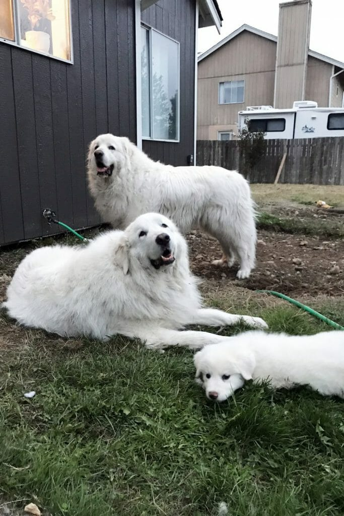 Two Great Pyrenees and a Great Pyrenees puppy